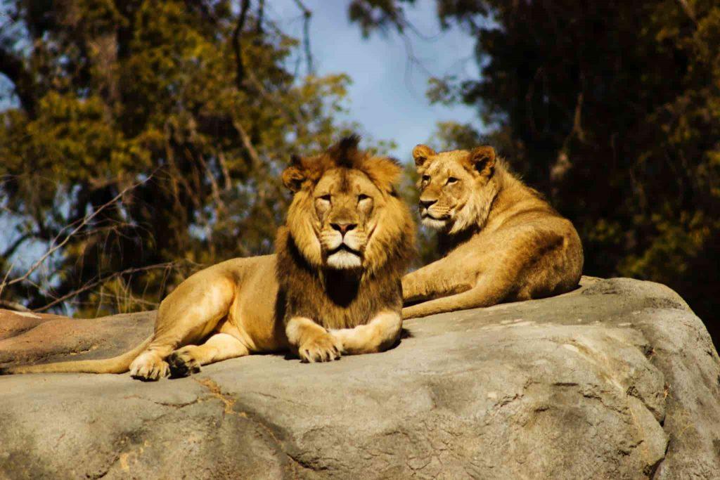 Les lions surveillent les visiteurs du zoo